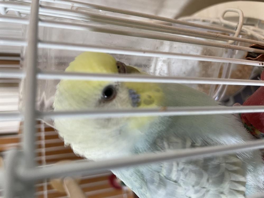 ペットのセキセイインコについて 1歳1ヶ月のメスのセキセイインコを飼っています。 今朝、写真のように片目の下まつげの部分が茶色になっていました。 反対側の目は茶色でなく、普段通りです。 これは目やになのでしょうか?何かの病気のサインでしょうか? 綿棒で優しく拭き取ってみようとしましたが、保定できず、嫌がってうまくできませんでした… 明日また様子を見てかかりつけのお医者さんに診てもらうか決めようと思います、 餌も食べていて、普段通り元気な様子なのですが、画像と同じような経験のある方、いらっしゃったら教えてくださいm(__)m
