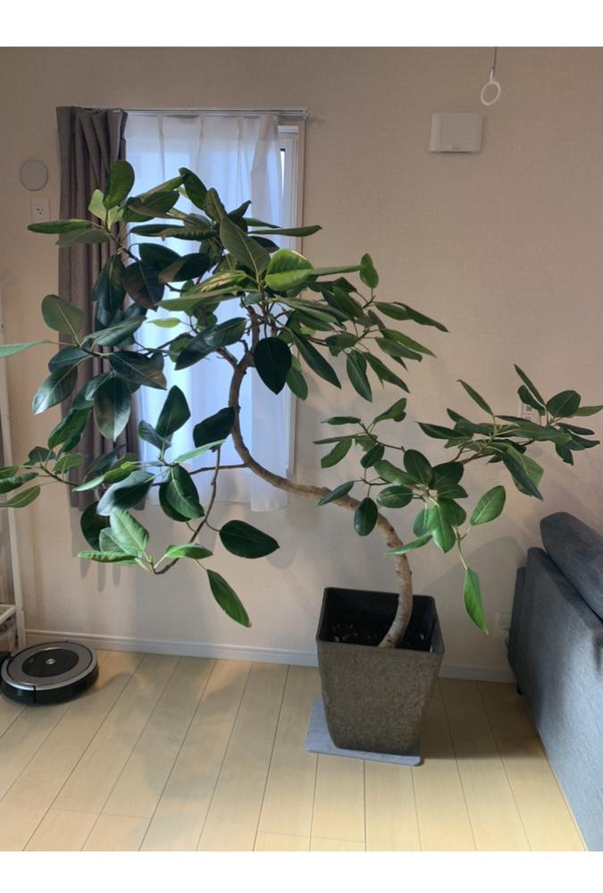 これは一体何という種類の植物でしょうか? 枝葉が不恰好に伸びてきたので剪定したいのですが、正しい方法などあればお伺いしたいです。