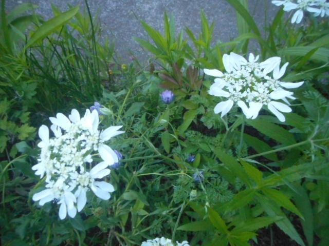 どことなく珍しい花が自宅近くに咲いていました。 紫陽花科の花でしょうか? 名前をお分かりの方、教えて下さい。