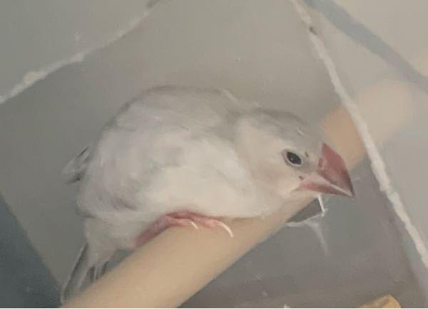 産まれて推定1ヶ月半のシルバー文鳥です。 木に止まってる時すごく前屈みなんですが脚がまだ弱いのでしょうか?最近1人餌になりました。まだ飛べません。
