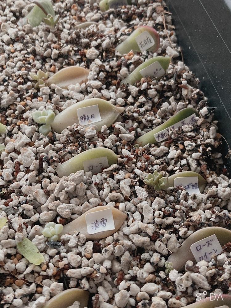 多肉植物の葉挿しについて。 今多肉植物にハマっており 室内の柔らかい光が当たる場所で葉挿しを100枚ほど育てております。 手指の爪の大きさまで育った多肉植物は 外に出した方がいいのでしょうか?? 室内のレースカーテン越しの方がいいでしょうか?? 外では棚にビニール(雨避け)をかけた物で育てております。