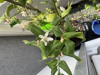 レモンの木、新しい葉が全く生えません。 花の蕾はたくさんできるのですが、新しい葉が生えてきません。 古い葉もくるくると巻いています。 枯れてきているのでしょうか? 教えてください。