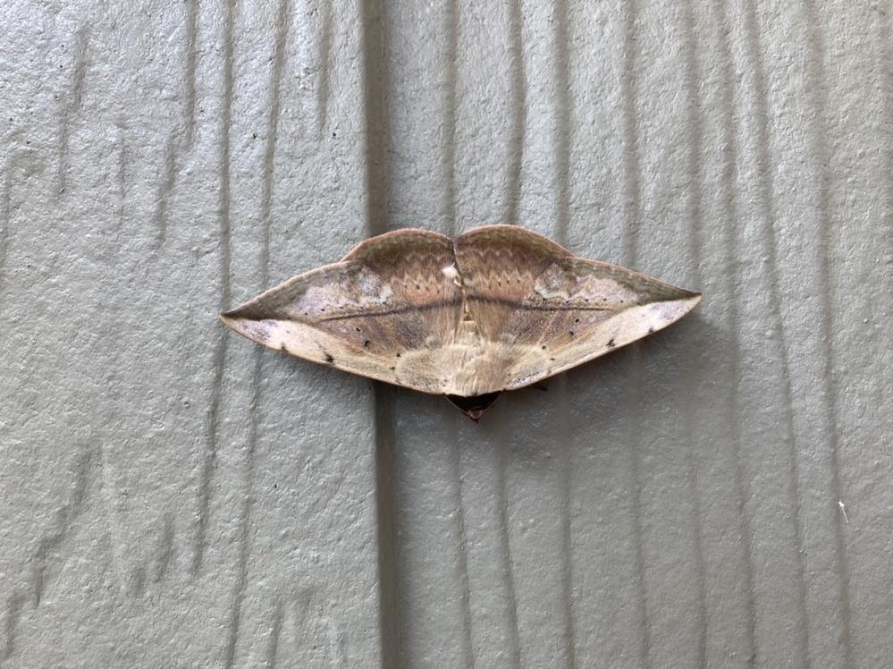 この蛾か蝶の名前を教えてください。 枯葉が外壁にくっついていると思ったら、蛾?蝶?でした。遠目には葉っぱにしか見えず近づくと美しく可愛らしい子でした(^^) 写真に撮って虫大好き次男と後で名前を調べましたがどれも微妙に違う気がして、分かりませんでした。 どなたかご教示くださいますでしょうか。 よろしくお願いします。