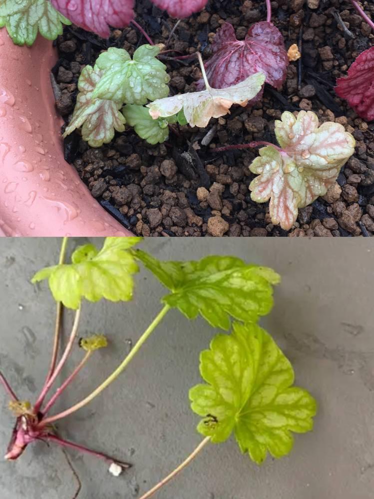 ヒューケラの元気がないのですが、どうしたらよいですか? 画像の下側の状態で購入して、上側が現在です 土はホームセンターで買ってきた園芸用の土です 赤いヒューケラは元気そうなのですが・・・ 液体肥料などはこのような小さな苗にも効果あるのでしょうか