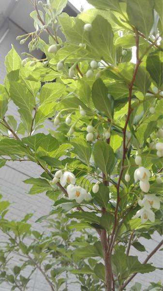これは何という花ですか? 3年くらい前に庭に生えてきて、今年初めて花が咲きました。