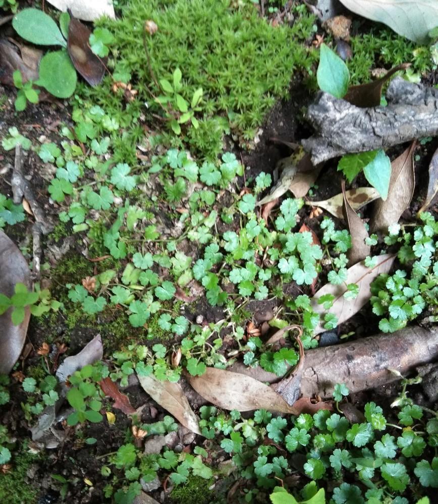 写真の草はチドメグサというのでしょうか ? 近くに苔があるので除草剤は撒けません 沢山広域にあるのでどのようにすれば簡単にとれるのか 方法があれば教えて欲しいのですが・・ 根気よくピンセットでつまんで取るしかないのでしょうか