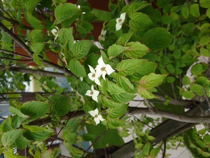 詳しい方、何の木で何の花か教えて下さい。