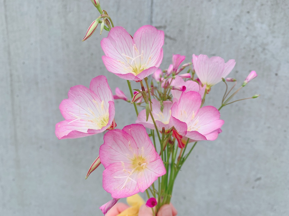 このネモフィラっぽいお花の名前は何ですか?