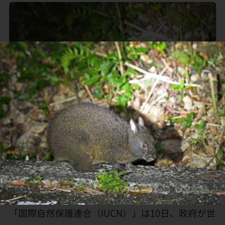 奄美大島にしか住んいないと言われる動物、アマミノクロウサギってわかりますか?知ってる方にお聞きしますが、アマミノクロウサギってなきますか?鳴くのであればどんな風にに鳴くんでしょうか?教えていただけたら ありがたいです。よろしくお願いします。 下の写真がアマミノクロウサギです。