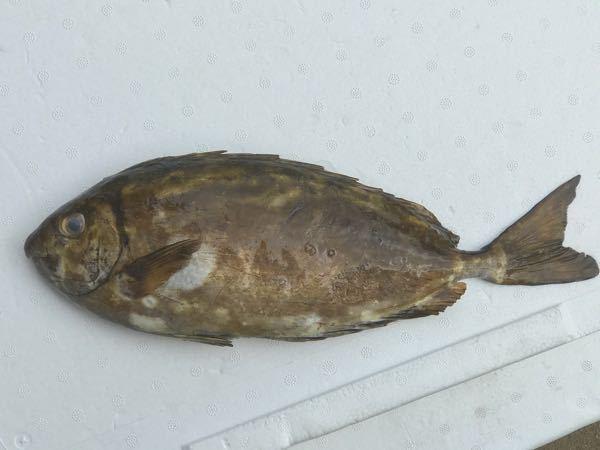 頂き物でなのですが、この魚は何という魚ですか? 鱗が無く、ツルツルしています。 場所は相模湾です。 宜しくお願い致します。