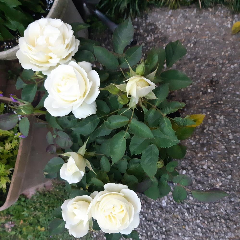 薔薇の名前教えてください。 先日花屋さんで見かけて、あまりにも綺麗な薔薇だったので購入しました。 しかし、名前が分かりません。購入時に 「ミニ薔薇 クリーム」と書いていました。店員さんに聞いたのですが入荷した時にそれしか書いてなくて調べても分からなかった。とのことでした。 分かる方いらした、よろしくお願いします。