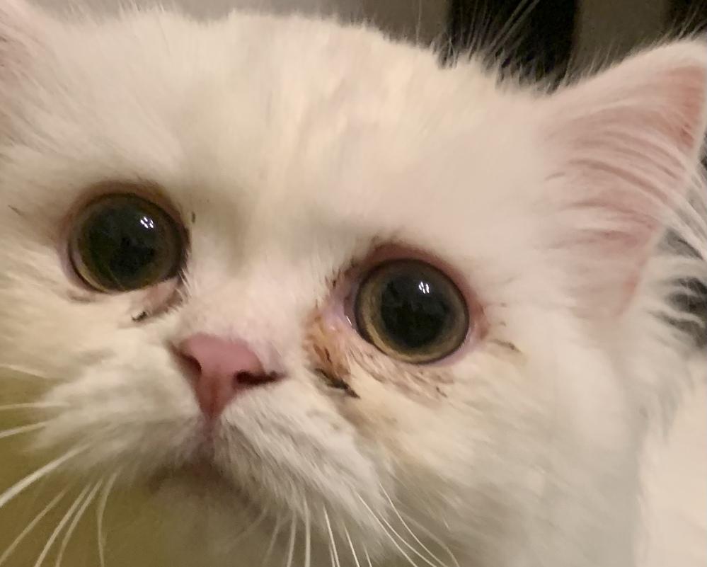 至急お願いします。1週間ほど前に子猫を飼ったのですが、涙やけがすごい気がします。 これは病院に連れて行ったほうがいいでしょうか? その場合、いくらぐらい手持ちがあれば余裕でしょうか。 保険はまだ加入の手続きを終えてないです
