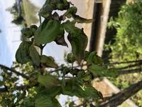 庭の ヤマボウシが昨年から写真のようになってしまいました。今年もです…。 病気であれば 薬剤等 対処法を考え下さい。 ヤマボウシ等 草木に詳しい方 宜しくお願い致します。