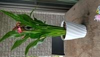 鉢植えカラーを貰いました。 地植えは難しそうなので、このまま鉢植えで育てようと思うのですが、今の鉢の大きさで大丈夫でしょうか? 高さ17cm直径15cmの鉢です。