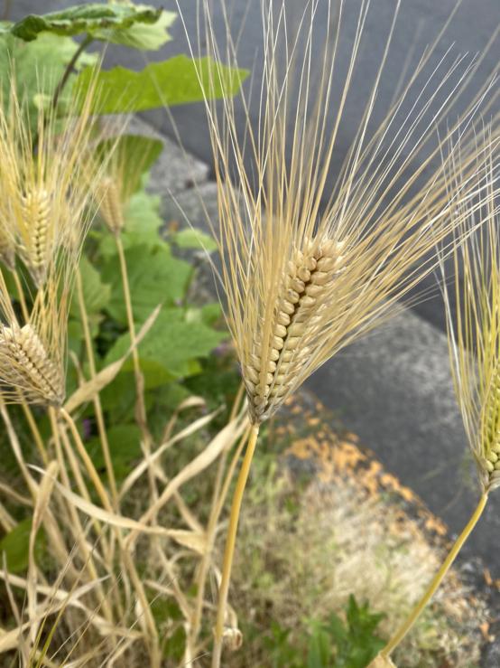 これは何と言う植物ですか? 路地に生えてます。 麦ですか?