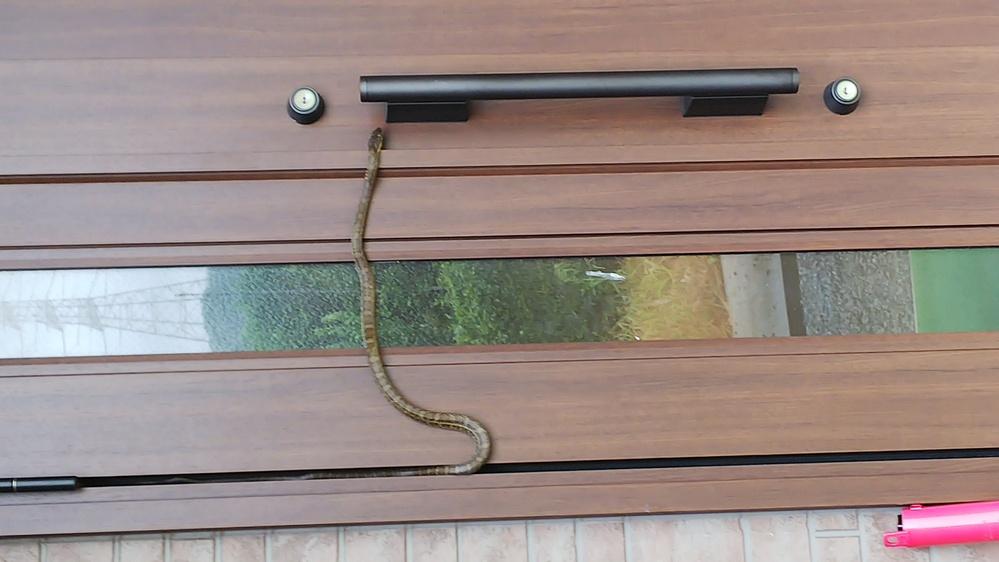 分かりにくいですが、先年、玄関にいた蛇ですが毒がある危険な蛇ですか?
