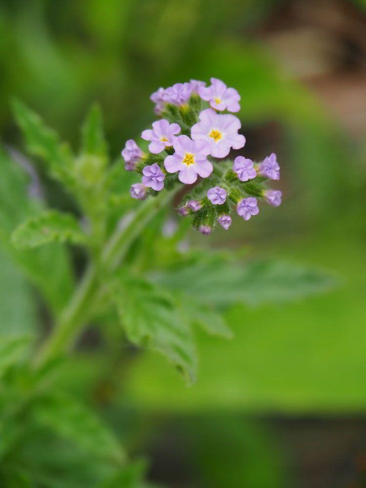 これも荒川河川敷で見かけた花です。 名前おわかりになる方、教えてください。 よろしくお願いします。
