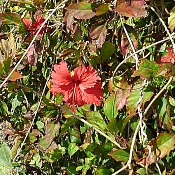 宮古島によく咲いているこの綺麗な花は何ですか? よろしくお願い致します。