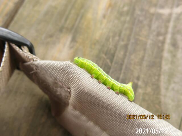 青虫の名前を教えて下さい、 岐阜県美濃加茂市で、 撮影20210512