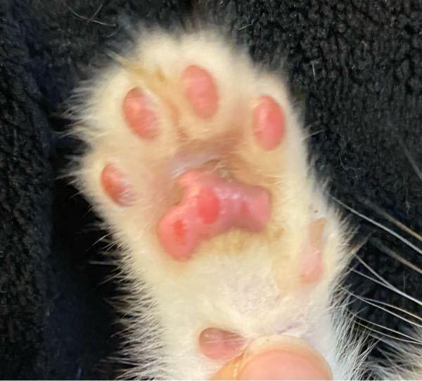子猫の肉球について質問です!さっき発見したのですが生後1ヶ月程度の子猫の肉球が画像のように赤い点があります。両手両足です。 これは何らかの先天性なのか、内出血なのか、 また、このままでも良いのか病院に行ったが良いのか教えてください。 痛がったり歩き方がおかしい訳でもないので今のところ病院に連れていくつもりはありませんが、何かわかる方いたら教えてください!