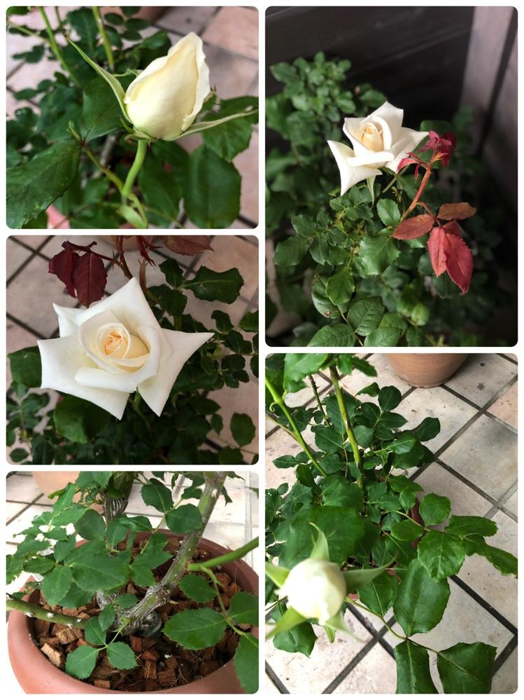 今年の冬にホームセンターでひどい状態で安売りされていた薔薇がここまで元気になって花をつけました。 名前がわかれば嬉しいのでどなたか教えて下さい。 一番花の大きさは5〜7cm位。蕾が開き始めてから写真までで5日めでゆっくりと開いているようです。中心は若干クリーム色のようですが、基本純白です。 香りは薄く強香ではありません。