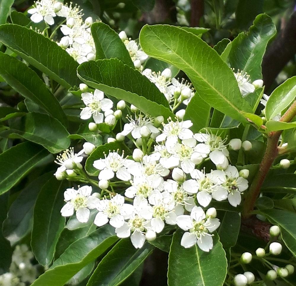今日、ある庭先できれいな白い花を見つけました。 可愛い白の小花で、葉は楕円形の丸みを帯びた葉です。 低木でした。 名前を知りたいのですが、ちょっと調べてみてもヒットしません、 ご存じの方いらしたら教えてください、 よろしくお願いいたします。