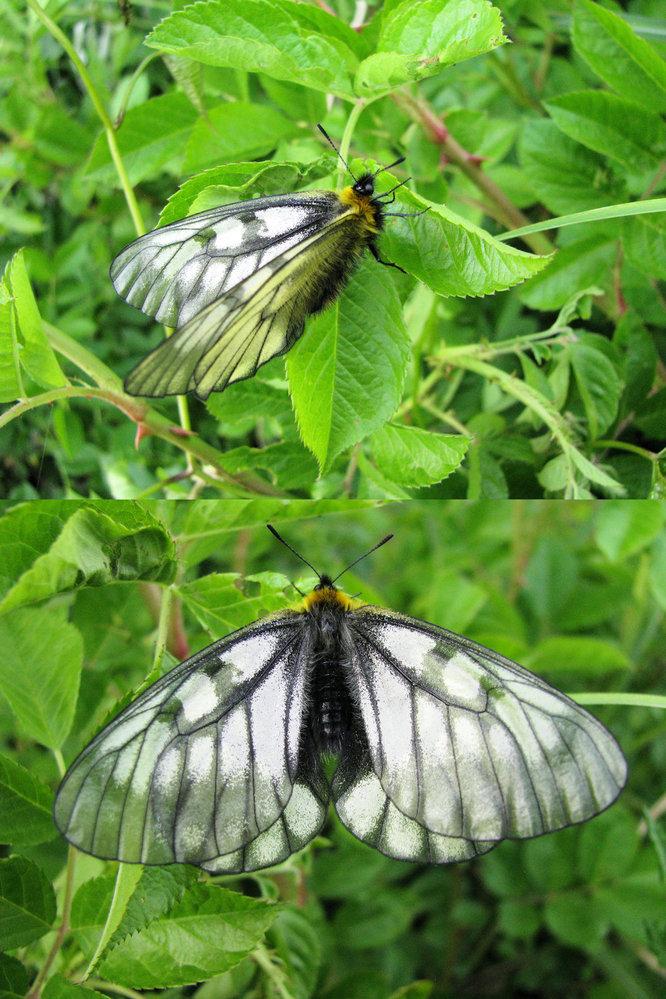 5月の山の虫です。 蛾 か 蝶 かは分かりませんが、何という名前の昆虫でしょうか??