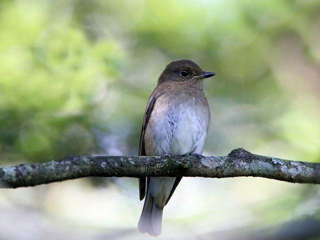 九州の山で撮影したこの鳥はキビタキ♀? オオルリ♀? 判別ポイントを教えてください。