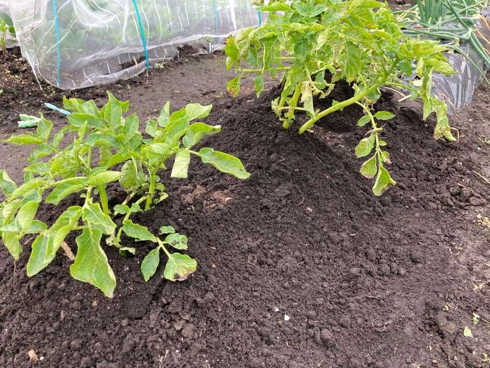 ジャガイモが元気に育ちません。去年取れた家にあったメークイーンを植えました。3月中頃植えました。 鶏糞を与えましたが。 元気にするためにはどうしたらよいでしょうか?