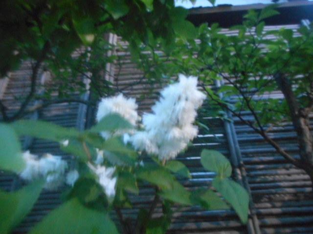 今朝、小雨の中で撮りました。 雨天+日の出前+白+写真を撮る腕(←これが一番✖です...)が悪くていつものようにピンボケで申し訳ありません。 もう少しまともな写真を撮りなさい! いい加減にしなさい! と怒られそうですね。 どことなく桜空木のように見えますが、正しいでしょうか? 或いは別の花でしょうか? お分かりの方、教えて下さい。