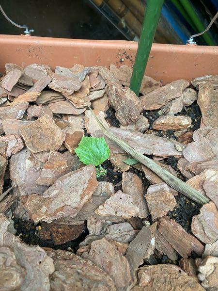きゅうりの種を植えて双葉と本葉が1枚出たので植え替えたら写真のように双葉がなくなってしまいました。 本葉だけですけど大丈夫ですかね泣?