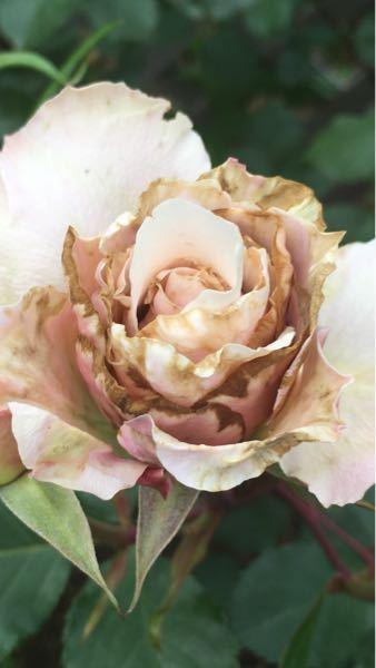 バラの相談です。写真のような症状は何が原因でしょうか。品種はダフネです。葉っぱは綺麗で健康的です。花の大きさが小さく、色味も本来の色ではありません。