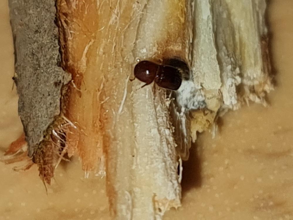 菩提樹の木の中を食い住んでました。 この虫は何でしょうか? 幼虫というよりは成虫みたいでした。木を見ると小さな穴が開いていてそこから食べたカスを出しているようでした。 とりあえず木は根元から切り、様子を見てましたら新しい芽が出てきましたが、まだ中にいるかも知れません。 植物用のキンチョールを塗布したりしてますが、効果があるかはわかりません。 虫の種類と効果的な撃退方法がわかる方、ご教授下さいm(__)m