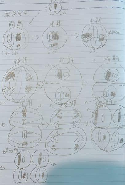 減数分裂を図でまとめてみました。(汚くてすいません) 間違っているところがあれば教えてください。 また、第一分裂の後期の時に相同染色体がそれぞれ別々の細胞に分配される理由を教えてください
