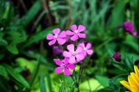 こぼれ種から咲いたこのピンクの小花は何でしょうかぁ?花径2cm、草丈20~30cm
