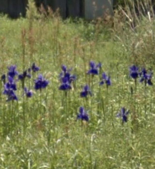 これはなんの花ですか?元畑だった場所に、手入れもされていないのにたくましく咲いていました。
