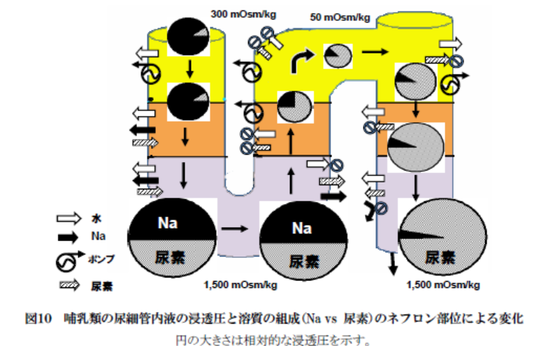 """腎臓における濾過と再吸収に関する質問です。ある解説記事に下記のようなことが書かれていました。これについて質問します。 下記の(ホ)の、「大量のNaCl と少量の尿素が""""受動的""""な拡散によって流出..."""
