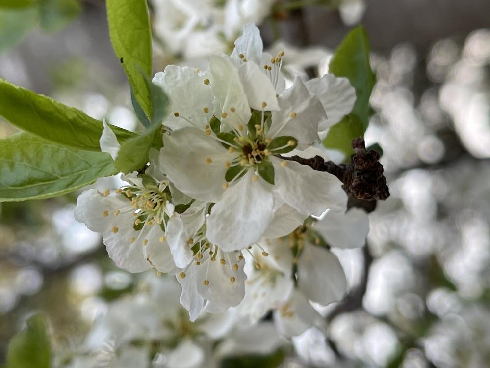 毎年裏庭に咲いています。 この花の名前を教えてください。 よろしくお願いします。