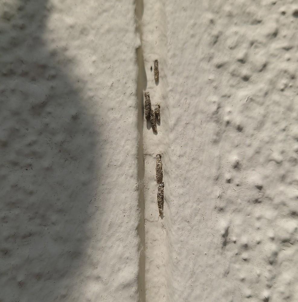 外壁にへばりついているこの虫?卵?はなんですか?