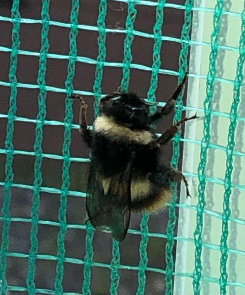 かなり羽音のうるさい蜂のような虫でした。これは安全な虫ですか??家の中に入ってきてびっくりしました体調は2センチ位あったような気がします。