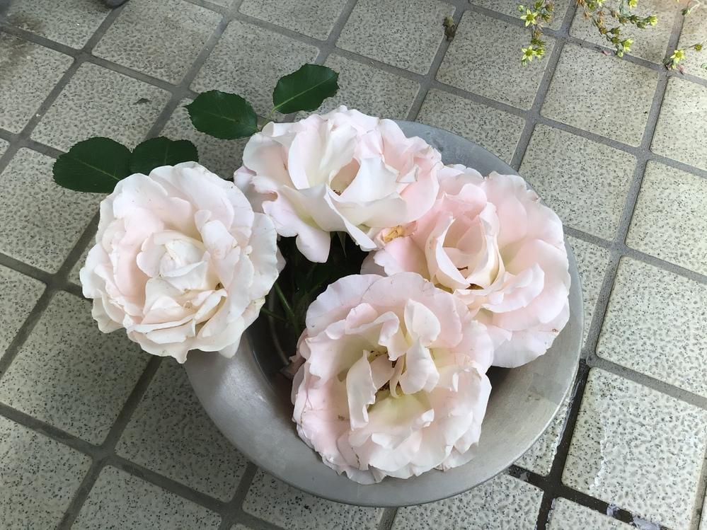 今年、庭でベージュの四季咲きツルバラが、沢山花を付けてくれましたが、バラの名前が、分かりません、何方かご存知の方、教えて下さい、 宜しくお願い致します。