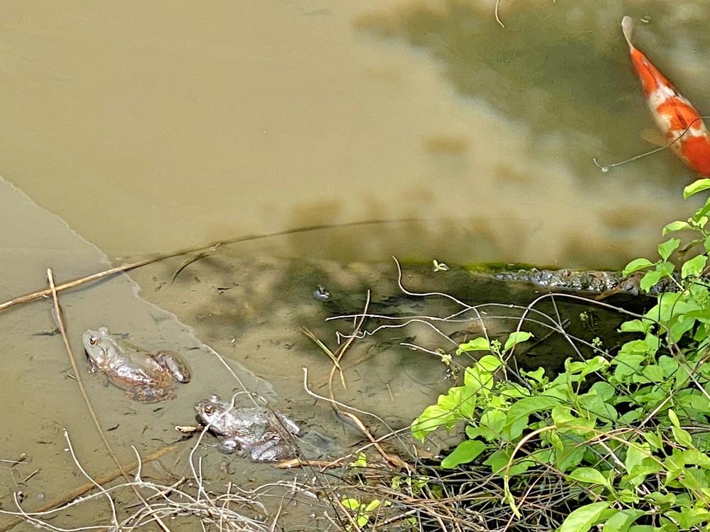 蛙の種類を教えてください。 大きな声でキャッ!と叫んで池に飛び込みました。