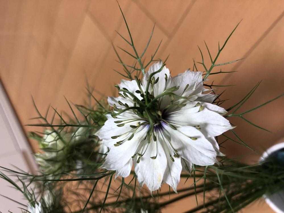 この花な名前を教えてください。 数年前から庭に生えていて、そのまま毎年育てていますが、名前がわからず気になっています。 教えていただけたらありがたいです。