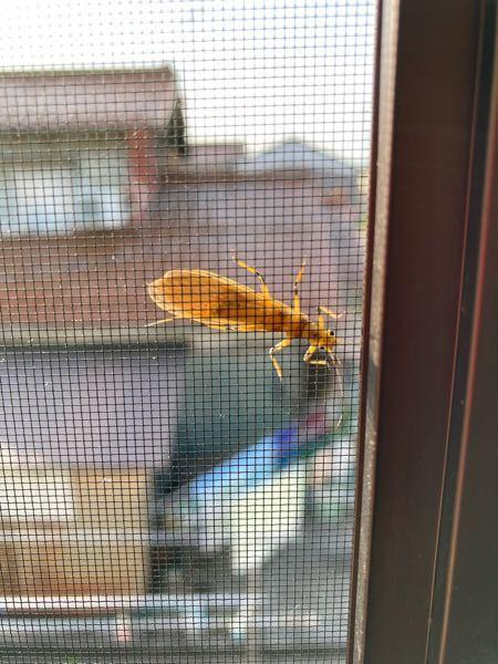 網戸に大きめの虫がついているのですが、 これはなんという虫ですか?