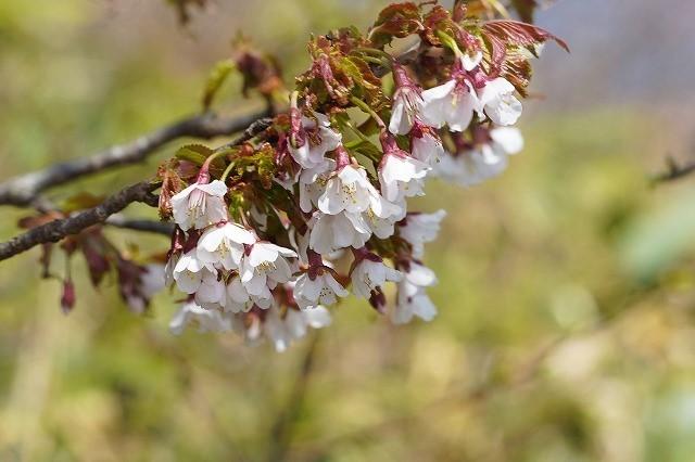 福島の雄国山で見かけた桜です。 この時期でもまだ少し花がついていました。 下向きで少し小さめの花です。 名前を教えて下さい。 よろしくお願いします。