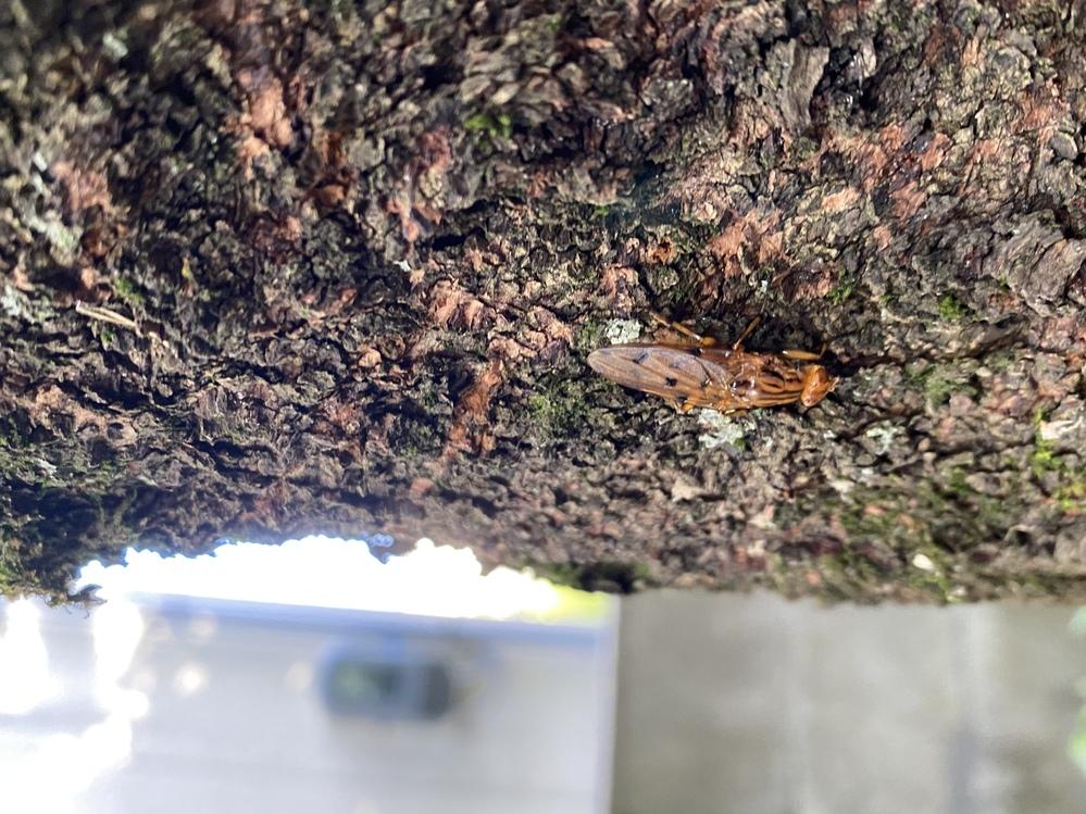 我が家の桜の木でとある虫(蜂みたい?)が大量発生し困っております。 名前がわかりません。 ご存知の方教えて頂けないでしょうか??