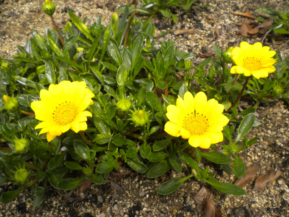 昨年、街できれいな花のグランドカバーを少し頂いて 庭に植えていたら冬には少し弱ったようでしたが 見事にリバウンドして最近、 きれいな花を咲かせました。 このホフク性の植物の 名前を御存じの方がいらっしゃいましたらご教示願います。