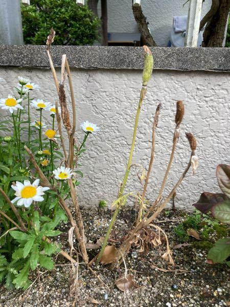 3月から4月に庭にラナンキュラスを植えていました。 今は花が全て無くなってこんな状態なのですが、このまま置いておいたら来年も咲きますか? もう終わりなら抜いて違う花を植えたいです。