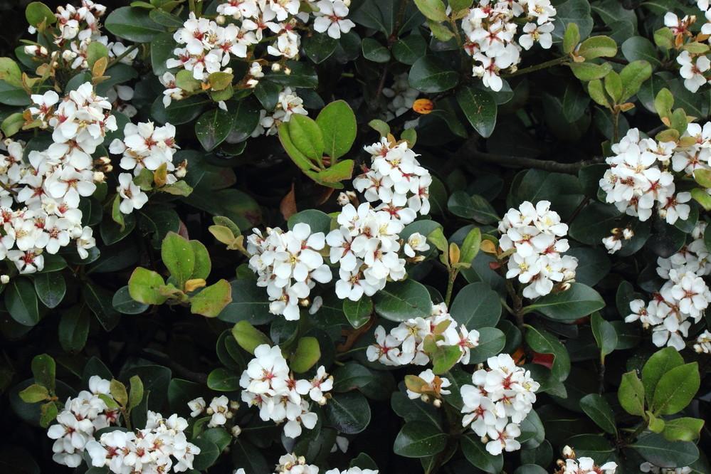 この花の名前を教えて下さい。 シャリンバイでしょうか? 海岸の遊歩道に植栽されていました。