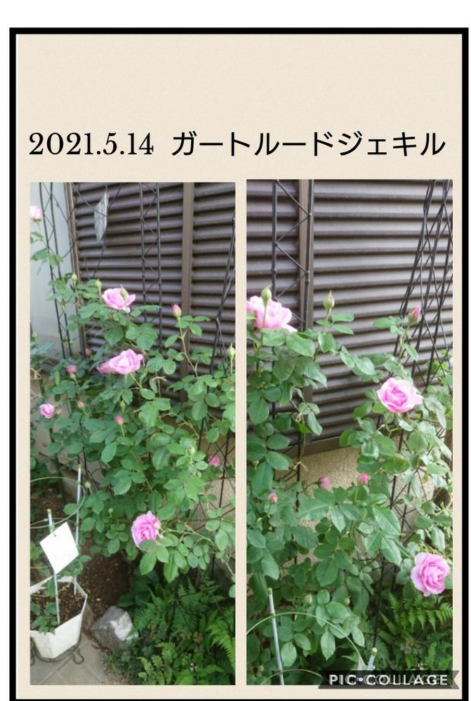 回答リクエストです。 flo・・さん、ご無沙汰してます❗ いつぞやのジェキル、咲きだしましたよー。 まだ、完全にロゼットまで咲き進んでないし花数も少ないようですが地に下ろしての初めての開花。 こん